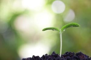Keimlingen richtig aus dem Zimmergewächshaus pikieren (umpflanzen)